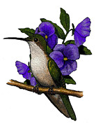 Pansies Drawings Framed Prints - Hummingbird With Pansies Framed Print by Joyce Geleynse