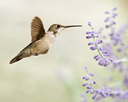 Purple Flower Flower Image Photos - Hummingbird With Purple Flowers by Jody Trappe Photography