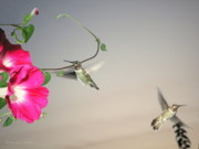 Joyce Dickens - Hummingbirds Coming and Going