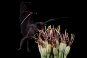 Long Tongue Mexican Bats Acrylic Prints - Hummm smells good Acrylic Print by E Mac MacKay