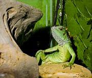Humorous Greeting Cards Digital Art Prints - Humorous Pet Iguana Photo Print by Carol F Austin