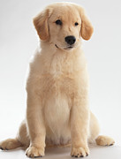 Eye Contact Posters - Humorous Photo of Golden Retriever Puppy Poster by Oleksiy Maksymenko