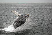 Jason Neely Acrylic Prints - Humpback Breaching Acrylic Print by Jason Neely