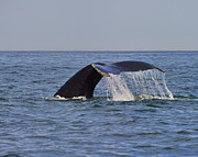 Humpback Metal Prints - Humpback Fluke Metal Print by Tony Beck