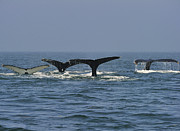 Humpback Metal Prints - Humpback Flukes Metal Print by Tony Beck
