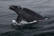 Humpback Metal Prints - Humpback Whale Breach Metal Print by Tory Kallman