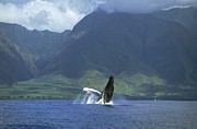 Whale Metal Prints - Humpback Whale Breaching Maui Metal Print by Flip Nicklin