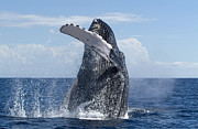 Whale Metal Prints - Humpback Whale Breaching Maui Hawaii Metal Print by Flip Nicklin