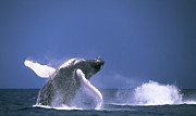 Dominican Republic Prints - Humpback Whale Breaching Off Silver Print by Beverly Factor