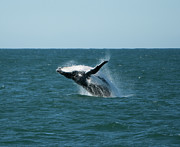 Calf Photo Posters - Humpback Whale Breaching Poster by Peter K Leung