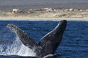 Whale Metal Prints - Humpback Whale Breaching Sea Of Cortez Metal Print by Suzi Eszterhas