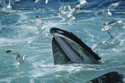 Mar2713 Art - Humpback Whale Feeding With Herring by Flip Nicklin