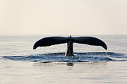 Wild Metal Prints - Humpback Whale Fluke Metal Print by M Sweet
