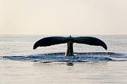 Humpback Whale Fluke Print by M Sweet