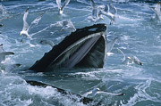 Whale Metal Prints - Humpback Whale Gulp Feeding Metal Print by Flip Nicklin
