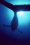 Humpback Whale Megaptera Novaeangliae Print by Flip Nicklin