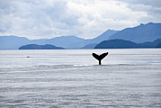 Watching Over Metal Prints - Humpback Whale Megaptera Novaeangliae Metal Print by James Forte