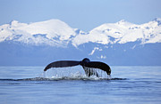 Strength Metal Prints - Humpback Whale Megaptera Novaeangliae Metal Print by Konrad Wothe