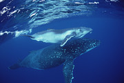 Tonga Framed Prints - Humpback Whale Mother And Calf Tonga Framed Print by Flip Nicklin