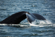 Humpback Whale Tail Cape Cod Massachusetts Print by Michelle Wiarda