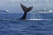 Whale Metal Prints - Humpback Whale Tail Lobbing Near Cruise Metal Print by Flip Nicklin