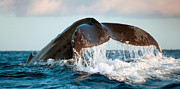 Tail Fluke Posters - Humpback Whale Tail Poster by Monica and Michael Sweet