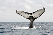 Humpback Whale Metal Prints - Humpback Whale Tail Metal Print by Photography by Jessie Reeder