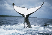 Whale Metal Prints - Humpback Whale Tail Tonga Metal Print by Mike Parry
