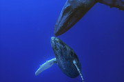 Humpback Whale Metal Prints - Humpback Whale Yearling And Mother Maui Metal Print by Flip Nicklin