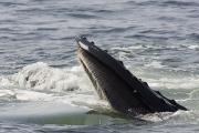 Animal Portraits Art - Humpback Whales Megaptera Novaeangliae by Tim Laman