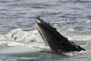 Humpback Whales Megaptera Novaeangliae Print by Tim Laman