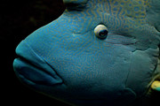Animal Eye Framed Prints - Humphead Wrasse (cheilinus Undulatus) Framed Print by Tobias Titz