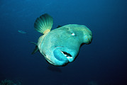Reef Fish Posters - Humphead Wrasse Poster by Georgette Douwma