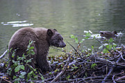 Fishing Creek Posters - Hungry Bear Poster by Brad Scott