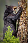Yellowstone National Park Photos - Hungry Black Bear by Rob Daugherty - RobsWildlife.com