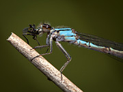 Dragonfly Prints - Hungry Bluet Print by Jeremy Martin