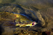 Golds Prints - Hungry Carp Print by Phyllis Denton