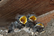 Precious Metals Prints - Hungry Cute Little Baby Birds  www.pictat.ro Print by Preda Bianca Angelica