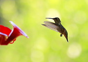 Hummingbird In Flight Posters - Hungry Hummer Poster by Carol Groenen