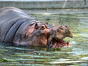 Hippopotamus Photo Posters - Hungry Hungry Hippo Poster by Paul Ward