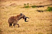 Horns Photos - Hungry Hyena by Adam Romanowicz
