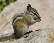 Chipmunk Photos - Hungry by Jon Berghoff