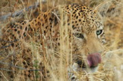Secretive Prints - Hungry Leopard Print by Tom Cheatham