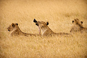 Lions Photo Prints - Hungry Lions Print by Adam Romanowicz