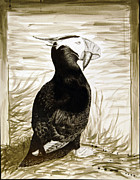 Puffin Drawings Posters - Hungry Puffin Poster by Marius Millar