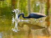 Herons Photos - Hungry Splash by Emily Stauring