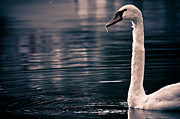 Cornwall Prints - Hungry Swan Print by Justin Albrecht