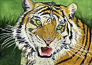 Watercolor Tiger Framed Prints - Hungry Tiger Framed Print by Alban Dizdari
