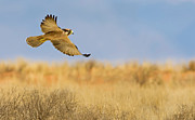 Bird Of Prey Originals - Hunting Lanner Falcon by Basie Van Zyl
