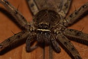 Housekeeping Prints - Huntsman Spider Up Close Print by Lynda Dawson-Youngclaus